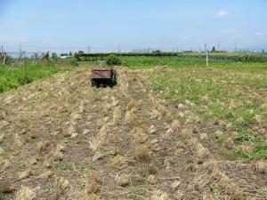 0807-30.スペルト小麦