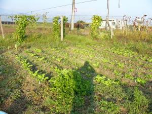 0810-19野バト農場4