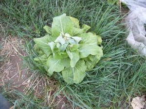 0903-3白菜