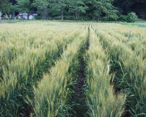 0906-13かえで農場小麦
