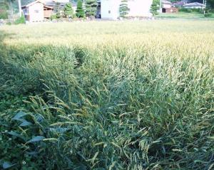 0906-13かえで農場小麦2