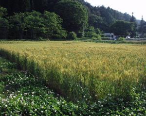 0906-13かえで農場小麦3