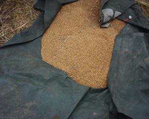 0907-3南部小麦