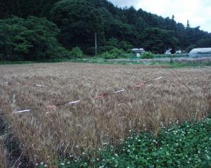 0907-11小麦