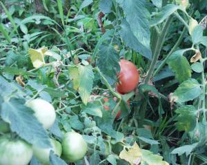 0907-26トマト
