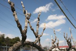 剪定後の葡萄の木