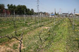4月の葡萄畑-2