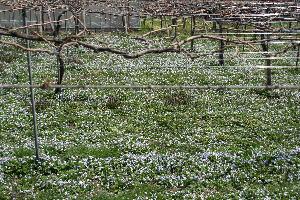 4月の葡萄畑-1