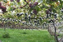 10月の葡萄畑