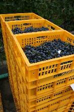 収穫された葡萄