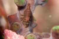 キサンゴカクレエビサンゴ