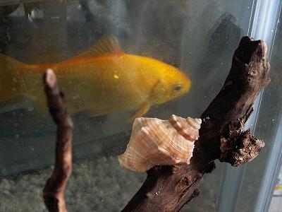 日がな一日金魚を眺めるウォーリー