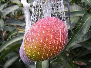 完熟アップルマンゴー2
