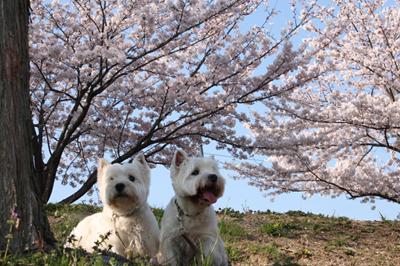 花見散歩3