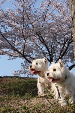 花見散歩4