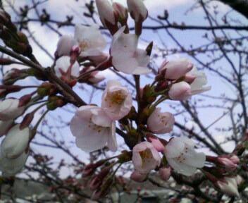 桜、咲いた!