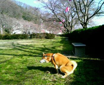 夜桜の場所取り!匂い付け♪
