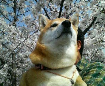 桜と小夏嬢