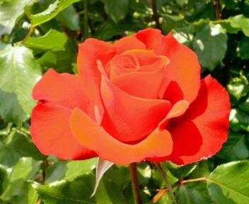 薔薇 レベル 2
