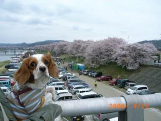 見てみて桜