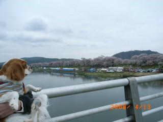 これが桜か