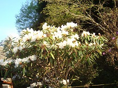 大木の白シャクナゲ
