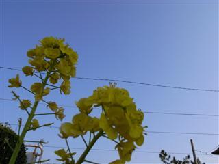 がんばれ菜の花