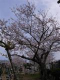 陣屋町の桜