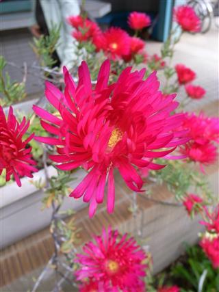 観音駅の花②