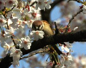 桜スズメ 花を食いちぎる  120714310768916227264