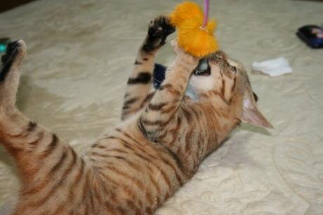 IMG_0879コムギ 猫じゃらし