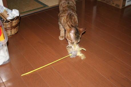 IMG_0958コムギ 猫じゃらし