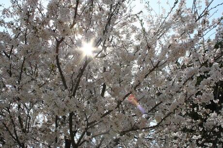 IMG_1109保育園の桜