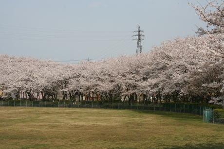 IMG_1127グラウンドの桜