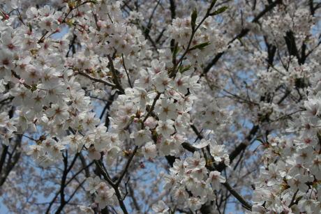 IMG_1131桜