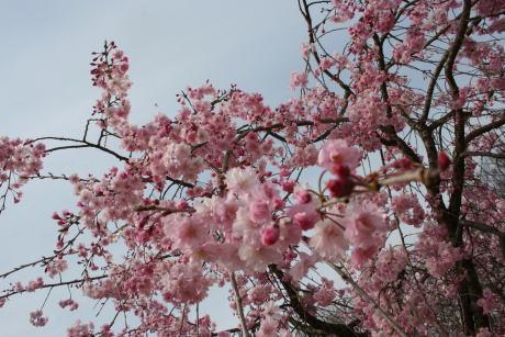 IMG_1138しだれ桜