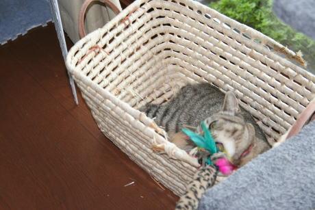 IMG_2198トラコ 猫じゃらし