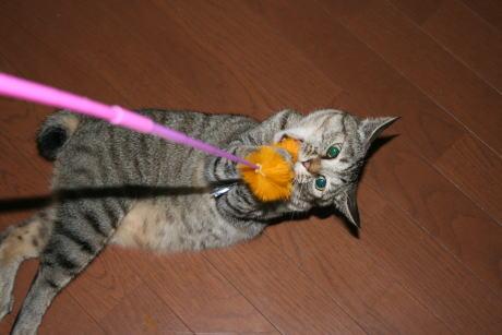 IMG_2214トラコ 猫じゃらし5