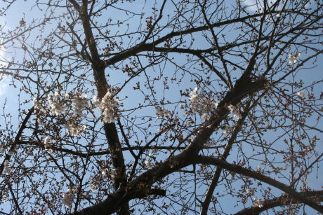 IMG_5242桜1