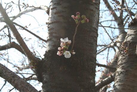 IMG_5241桜2