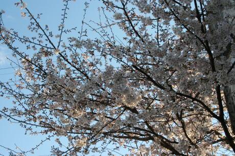 IMG_5305桜3