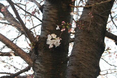 IMG_5302桜