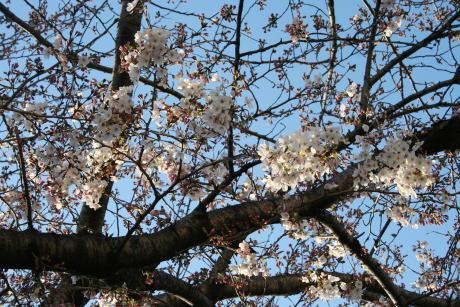 IMG_5304桜2