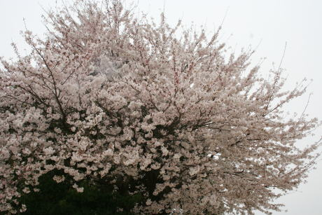 IMG_5336桜2