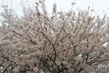 IMG_5335桜1