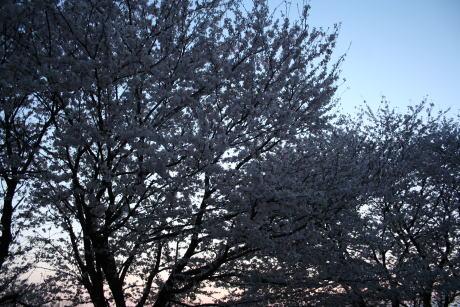 IMG_5381夜桜1