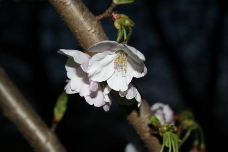 IMG_5390夜桜3