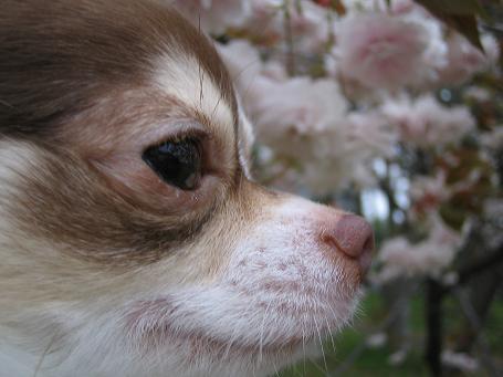 桜とテッペイ