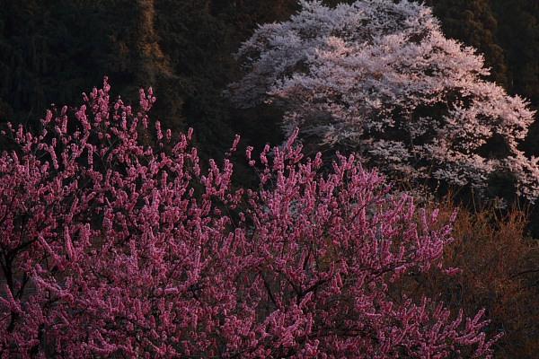 大柿の桜2
