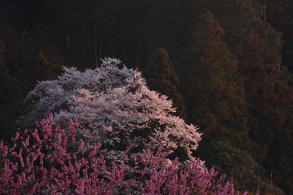 大柿の桜1